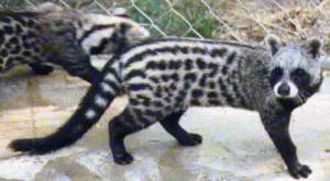 civetcat