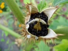 jimsonweed-seedpood-nature-3954386-l